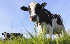 crir el ganado