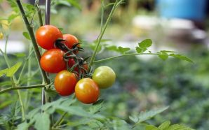 tomato-1279679_640 (1)